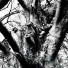 sycamore-tree-near-grasmere